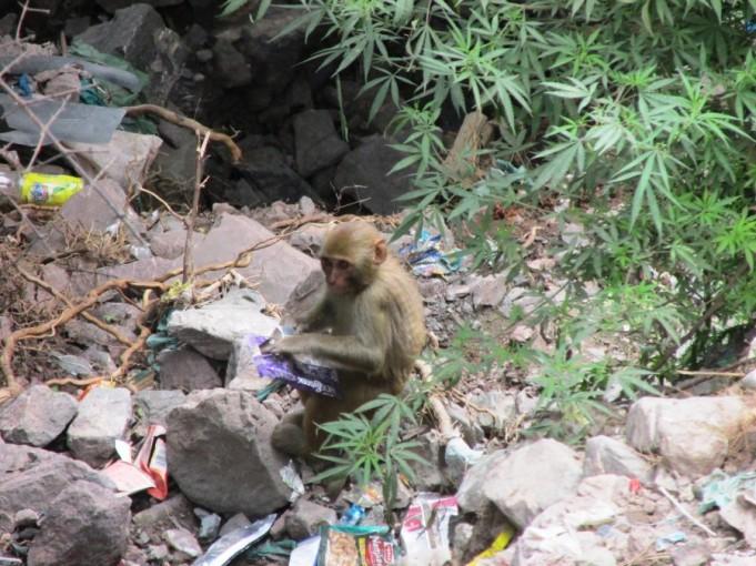 kashmir-india-dorogavdjammy-monkey (18)